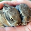 A Pair of Baby Cottontail Rabbits Rest in a Human Hand — Stock Photo
