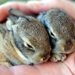 A Pair of Baby Cottontail Rabbits Rest in a Human Hand — Stock Photo #8347423