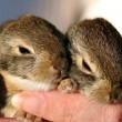 A Pair of Baby Cottontail Rabbits Rest in a Human Hand — Stock Photo #8347434