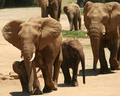 A Herd of Six African Elephants — Stock Photo