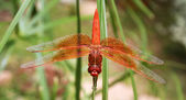 A Large Orange Dragonfly — Stock Photo