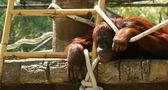 Un orangután — Foto de Stock