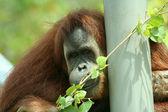 En orangutang i en djurpark klockor eftertänksamt — Stockfoto
