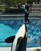 A Trainer is Lifted on an Orca's Nose — Stock Photo