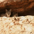 Stock Photo: Pair of Bobcats in Their Den