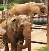 An Asian and an African Elephant Housed Together at the Zoo — Stock Photo