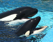 A Pair of Killer Whales at Their Tank's Edge — Stock Photo