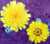 Scalebud, a Dandelion Like Sunflower Composite Flower — Stock Photo