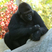 An Adult Gorilla Seems to be Pondering Life — Stock Photo
