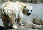 Un orso polare guarda da una riva del fiume — Foto Stock