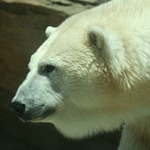 A Head of a Polar Bear in Profile — Stock Photo