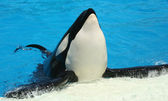 A Killer Whale Poses at His Tank's Edge — Stock Photo