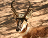 A Pronghorn Antelope — Stock Photo