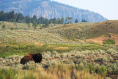 Resting Bison — Stock Photo