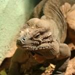 ������, ������: A Rhinoceros Iguana