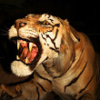 A Snarling Tiger — Stock Photo