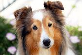 Un cane da pastore shetland sable in un giardino — Foto Stock
