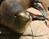 A Sleepy California Sea Lion, Zalophus californianus — Stock Photo