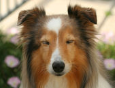 A Sleepy Sable Shetland Sheepdog in a Garden — Stock Photo
