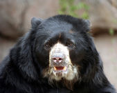 A South American Spectacled Bear — Stock Photo