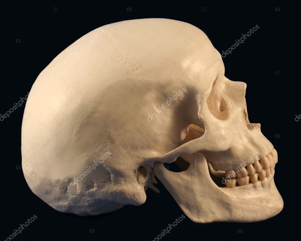 Human Skull Front View