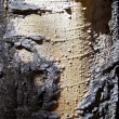 A close-up look at the colors and textures of the bark of a quaking aspen t — Stock Photo