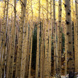 Aspen Thicket — Stock Photo