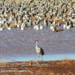 A Standout Sandhill Crane — Stock Photo