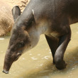 A South American tapir, Tapirus terrestris, in the water — Stock Photo