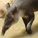 A South American tapir, Tapirus terrestris, in the water — Stock Photo