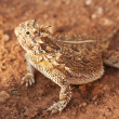 A Texas Horned Lizard, Phrynosoma cornutum, or Horny Toad — Stock Photo