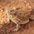 A Texas Horned Lizard, Phrynosoma cornutum, or Horny Toad - Stock Photo