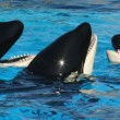 Stock Photo: Trio of Killer Whales in Their Tank