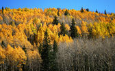 Aspen, pine and fir in the San Francisco Peaks, northern Arizona — Stock Photo