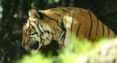 Een tijger — Stockfoto