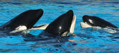 A Trio of Killer Whales in Their Tank — Stock Photo