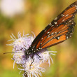 Stock Photo: Viceroy Butterfly, Monarch Mimic, on Wildflower