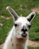 A Llama, a South American Animal Used for Fur and as a Pack Animal — Stock Photo