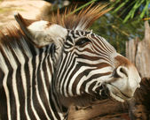A Young Zebra — Stock Photo