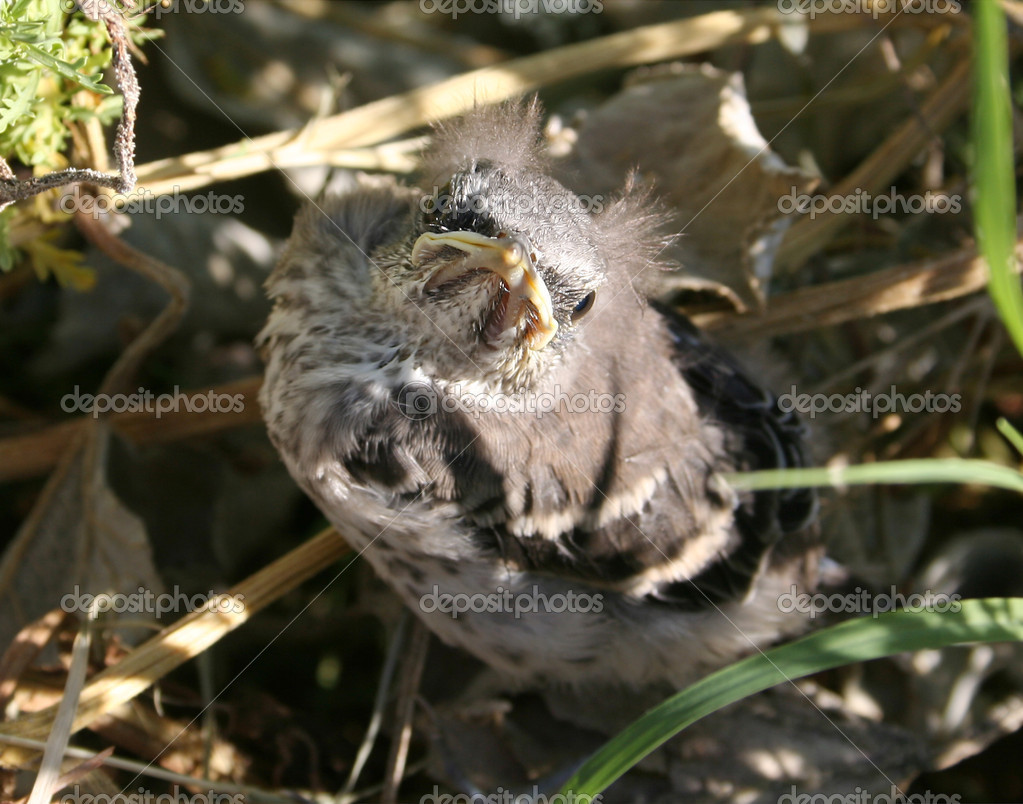 Despite his diminutive size, this brazen baby mockingbird seems more than ready to take on the world.  Stock Photo #8599538