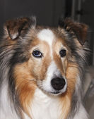 A Portrait of a Beautiful Sable Merle Sheltie — Stock Photo