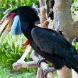 Male Hornbill on Bali, Indonesia - Stock Photo