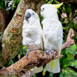Yellow-crested white Cockatoo  Parrot in nature surrounding - Stock Photo