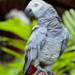 Stock Photo: AfricGrey Parrot in nature surrounding