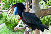 Male Hornbill on Bali, Indonesia — Stock Photo