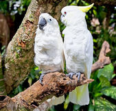 Yellow-crested white Cockatoo Parrot in nature surrounding — Stock Photo