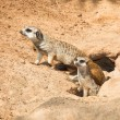 Family Meerkat,  going out from their hole — Stock Photo