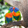 Australian rainbow lorikeets, queensland. - Stock Photo
