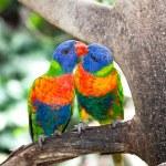 Australian rainbow lorikeets, queensland. — Stock Photo