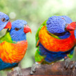 Australian rainbow lorikeets - Stock Photo